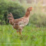 Free Range Yuan Yang Chicken, Premium Chicken