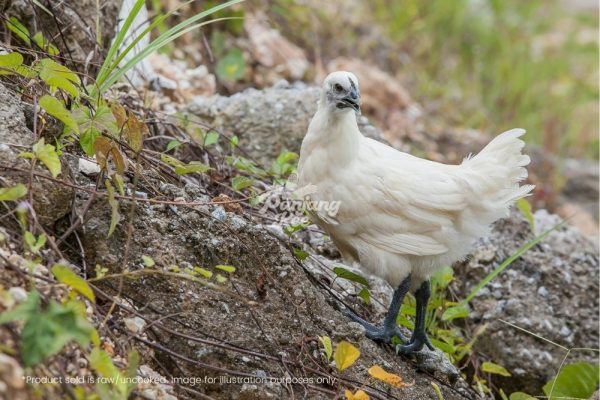 Free Range Fresh Black Chicken Ayam Kampung Hitam